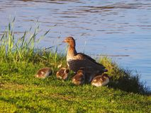 Mother Wood Duck and Chicks Stock Images