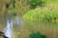 Mother Wood Duck and Ducklings. A mother Wood Duck and her five ducklings navigate a creek abundant with reeds, grass and plant life stock photo
