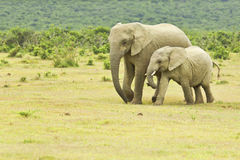Mother and young African elephant walking to a water hole Stock Images