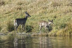 Mother and young deer by shore. Royalty Free Stock Images