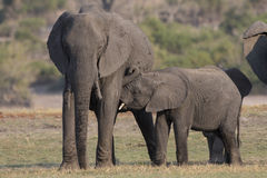 Mother and young elephant in Africa Stock Photography