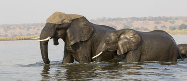 Mother and young elephant crossing river in panoramic photograph Royalty Free Stock Image