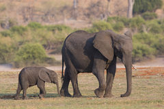 Mother and young elephant walking by river Stock Photos