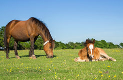 Mother and Young Foal Stock Photography