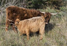 Mother and young galloway Royalty Free Stock Photo