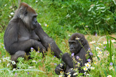 Mother with Young Gorilla. Female Gorilla sitting in the undergrowth with young offspring Stock Photography