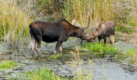 Mother and young Moose in bog Royalty Free Stock Photo