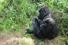 Mother and young mountain gorilla looking into the forest royalty free stock photos