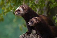 Mother and young Polecat Royalty Free Stock Image