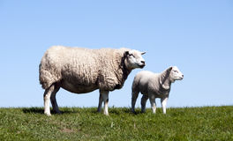 Mother and young sheep Stock Images