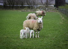 Mother and Young Sheep, England Royalty Free Stock Photo