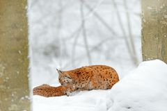 Mother with young, wild cat family. Lynx in nature wildlife habitat. Two cat, trees snow. Lynx in snow forest. Eurasian Lynx in wi Royalty Free Stock Image