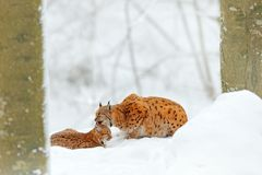 Mother with young, wild cat family. Lynx in nature wildlife habitat. Two cat, trees snow. Lynx in snow forest. Lynx cleaning cute Stock Photo