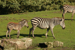 Mother zebra with child Stock Images