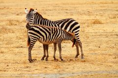 Mother Zebra feeding baby. A mother zebra stands on the Serengeti plains while her baby feeds from her royalty free stock photo
