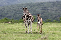Mother Zebra and fowl. South Africa Stock Image