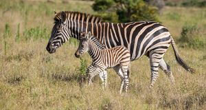 Mother Zebra and Her Foal. Burchell or Plains Zebra Mom and Foal Stock Photo