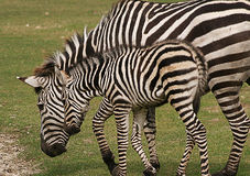 Mother zebra and her young offspring Stock Photos