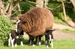 Mother Zwartbles Ewe with Triplet. Mother with triplets, purebred Zwartbles Royalty Free Stock Photo