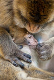 Motherhood. Mother ape taking care of her son Stock Image