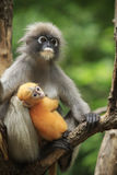 Motherhood of Dusky leaf monkey, Dusky langur in southern of tha Stock Photography