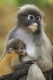Motherhood of Dusky leaf monkey, Dusky langur in southern of tha Royalty Free Stock Photography