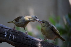 Motherhood. A female bird feeds its young Stock Images