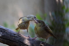Motherhood. A female bird feeds its young Royalty Free Stock Image