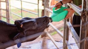 Motherless Calf Being Hand Fed From A Bottle. A young calf with no mother being hand fed a bottle of milk stock photo