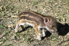 Striped baby boar is sleeping in the grass. Stock Photos