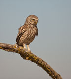 MotherLittle Owl on guard Royalty Free Stock Photos