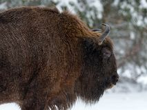 Motherly Bison Close Up. Adult Wild European Brown Bison  Bison Bonasus  In Winter Time. Adult Aurochs  Wisent , Symbol Of The. Republic Of Belarus. Wild Stock Photography