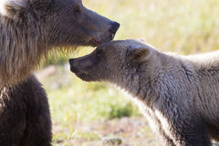 Motherly Love for cub. Sow brown bear loving on cub Royalty Free Stock Images