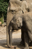 Motherly love. The love of an elephant mother to her youngh Stock Image
