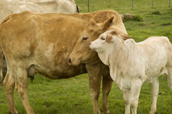 Motherly love mother cow with baby spring calf. Motherly love a baby spring calf adores its charolais mother cow stock photo