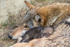 Motherly love of timber wolf Stock Photos