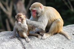 Motherly Małpia miłość Obraz Stock