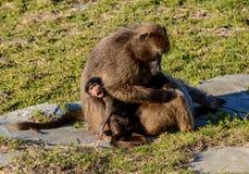 Mothern-Pavian mit Baby Lizenzfreie Stockfotos