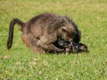 Mothern-Pavian mit Baby Lizenzfreie Stockfotografie