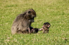 Mothern-Pavian mit Baby Lizenzfreies Stockbild