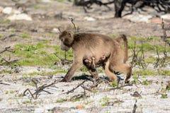 Mothern-Pavian mit Baby Lizenzfreie Stockbilder