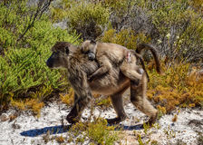 Mothern und jugendlicher Pavian Stockbild