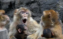 Mothers - barbary macaques. Family communication - barbary macaques Royalty Free Stock Image