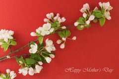Mothers Day card. White flowers on a red background. Spring blooming apple Stock Images