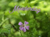 Mothers Day image with flower and the word moederdag in Dutch royalty free stock images