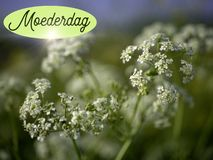 Mothers Day image with white flowers and the word moederdag in Dutch stock images
