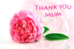 Mothers Day Thank You. Greeting with pretty pink rose which is echoed softly in background Royalty Free Stock Photography