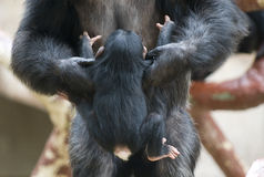 Mothers help. Chimp mother helping her little baby Royalty Free Stock Photography