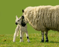 A Mothers Love. A female sheep with ther lamb in a field Stock Photography