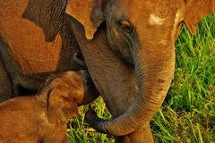 Mothers love. Cute elephant baby sacking mik from mother at hurulu nature park, habarana , polonnaruwa, Sri Lanka Royalty Free Stock Photos